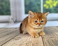 Шотландский прямоухий котёнок (синий ошейник) дата рождения 30/03/2020. Питомник Royal Cats. Украина, г. Киев, фото 1