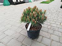 Сосна черная Pinus nigra Bambino на штамбе, саженец