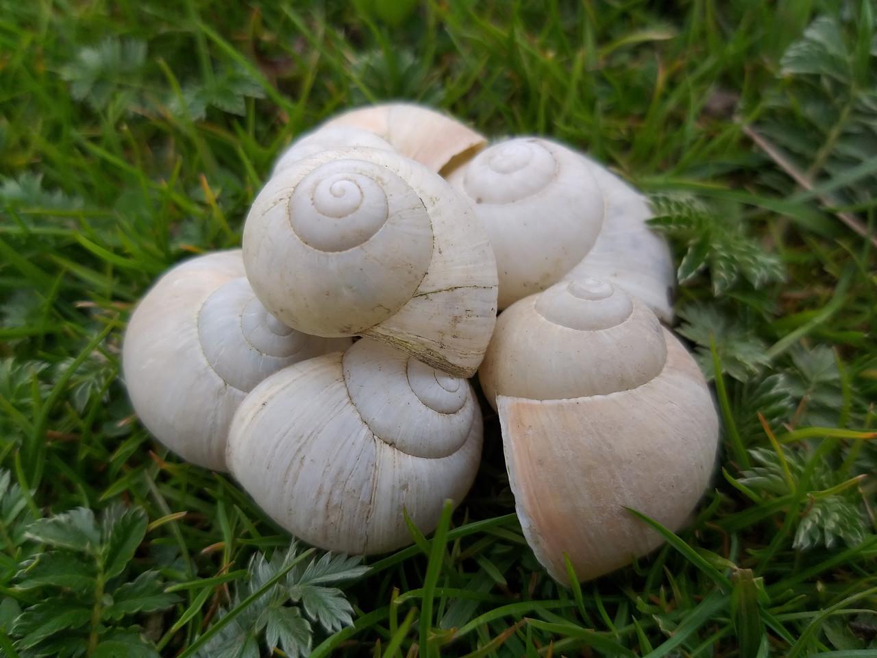 Ракушки белой улитки для декора, 10 шт\уп., 10 грн