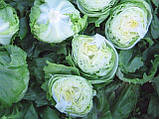 Семена салата Эдуардо, 5000 семян, фото 3