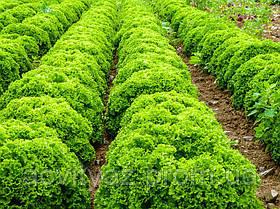 Семена салата Илема, 1000 семян