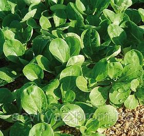 Семена салата Акцент, 100 000 семян