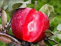 Саженцы яблони красномякотной Эра