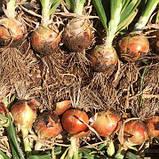 Семена лука Каоба F1, 250 000 семян, фото 4