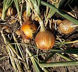 Семена лука Ятоба F1, 250 000 семян, фото 2