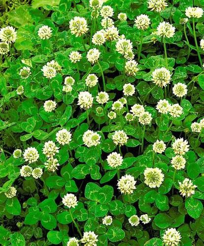 Семена Клевер белый низкорослый Юра (Weißklee Jura) 0,5кг НА РАЗВЕС