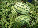 Семена арбуза Тамтам F1, 500 семян, фото 2