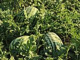 Семена арбуза Тамтам F1, 500 семян, фото 3