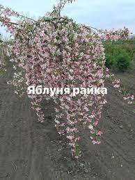 Яблоня райка Пендула на штамбе