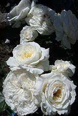 Роза Пейшенс (Patience) анг., фото 3