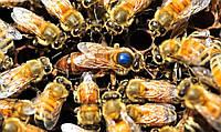 Пчеломатка Бакфаст, плодная, меченная