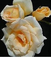 Роза чайно-гибридная Elegant Beauty осень