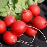 Семена редиса Виенна F1, 250 грамм, фото 2