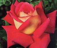Роза чайно-гибридная Кроненбург (Kronenbourg) осень