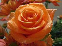 Роза чайно-гибридная Луи де Финес