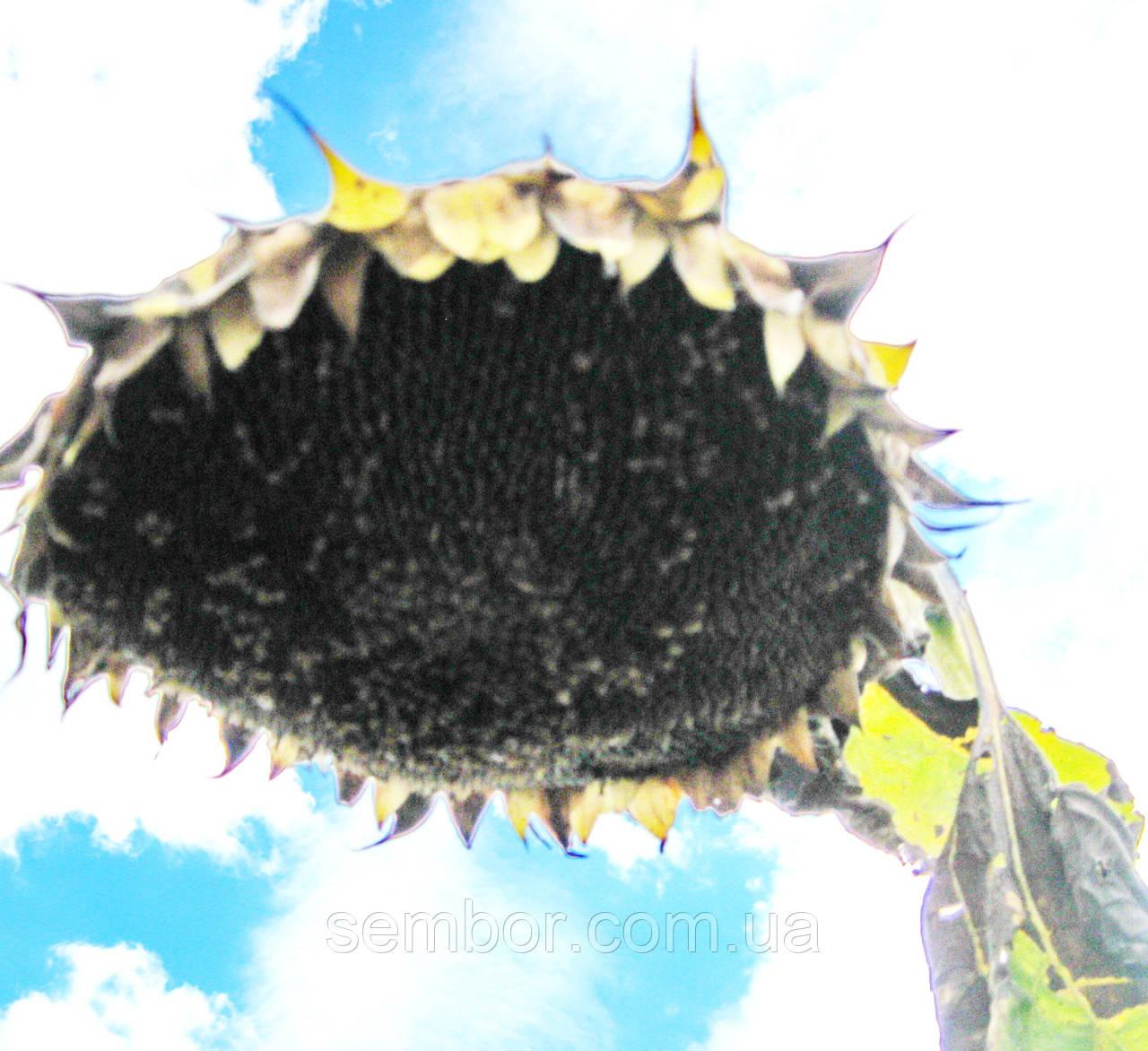 Соняшник посівної Хорнет універсальний гібрид