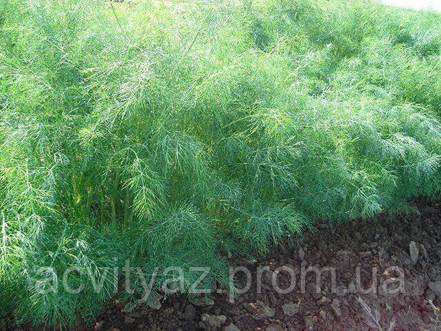 Семена укропа Голдкрон, 250 грамм