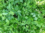 Семена петрушки Аргон, 250 грамм, фото 2