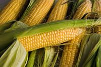 Семена кукурузы Нови Сад Сербия НС 300 ФАО 340
