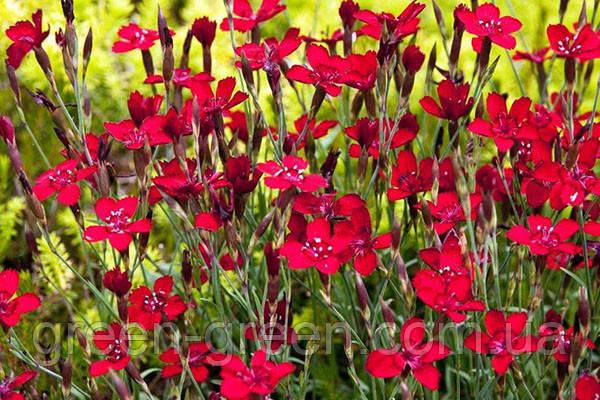 Гвоздика-травянка Briliant червона, саджанець