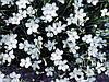 Гвоздика-травянка Albus, саженец, фото 2