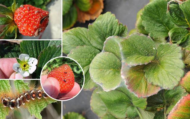 Основные вредители клубники садовой