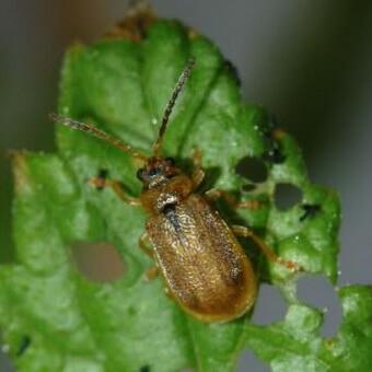 жуки земляничного листоеда, вредители земляники