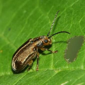 земляники листоед, борьба с вредителями клубники