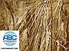 Сорт ярового ячменя Гелиос 90-93 дней. Шестирядный ячмень Гелиос высокоурожайный 55-60 ц/га. Элита.