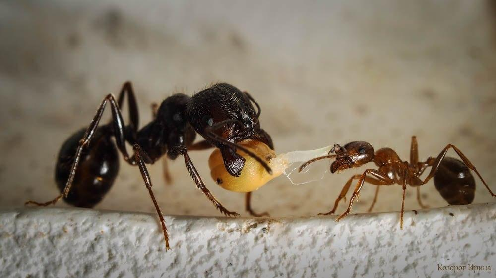Колония Муравей жнец (вид Мессор Структор) Средняя ( 10 муравьев)