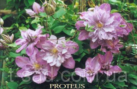 Клематис  Proteus 3год махровый
