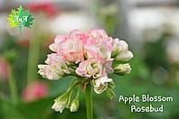 """Пеларгония зональная """"Apple Blossom Rosebud"""" (герань, калачик №1)"""