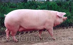 """Повнораціонний комбікорм для Свиноматок поросних"""""""