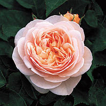 Роза Джульетт (Juliet) агл., фото 3