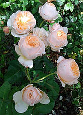 Роза Джульетт (Juliet) агл., фото 2