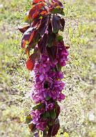 Колоновидна яблуня Мейпоул (Maypole)(рожево-червона м'якоть), фото 1
