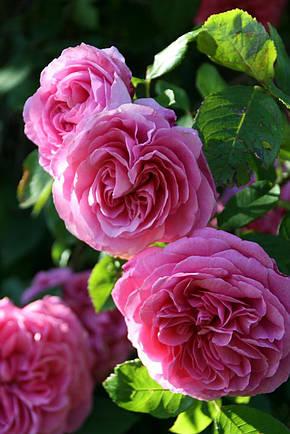 Роза Гертруда Джекил (Gertrude Jekyll) анг., фото 2