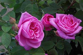 Роза Гертруда Джекил (Gertrude Jekyll) анг., фото 3