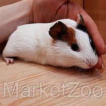 Морская свинка,мальчик,возраст 1,5мес., фото 3