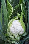 Семена цветной капусты Дюрок F1, 2500 семян, фото 2