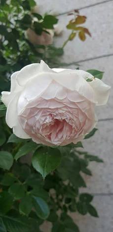 Роза Герцогиня Кристиана (Herzogin Christiana) Флорибунда, фото 2