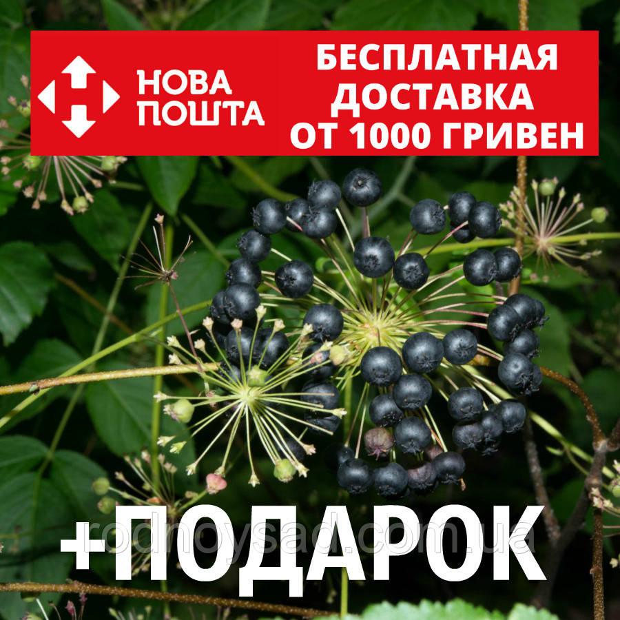 Аралия маньчжурская семена (20 шт) для выращивания саженцев Aralia mandshúrica насіння на саджанці +подарок
