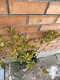 Саженцы голубики Спартан в горшках 3-летняя, фото 2