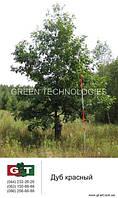 Посадка деревьев, Дуб красный 6 метров (посадка включена)