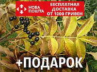 Бархат амурский семена (20 шт) Phellodéndron amurénse феллодендрон амурское пробковое дерево +подарок, фото 1