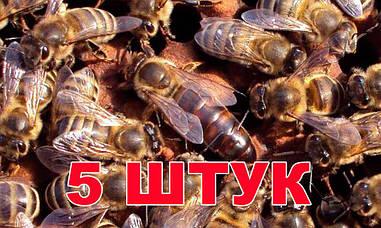 Матка породи Карника (не плодові) - 5 бджоломаток