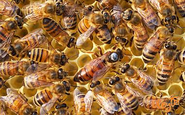 Матка. Украинская степная порода пчел. Меченная. Плодная.