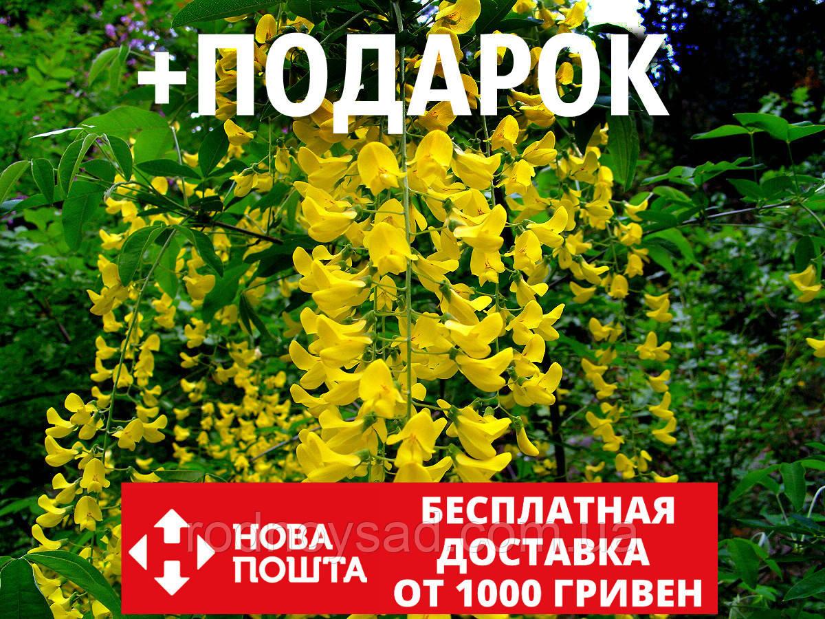 Бобовник анагиролистный семена (20 шт) или Бобовник анагировидный золотоой дождь Labūrnum anagyroīdes