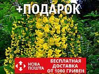 Бобовник анагиролистный семена (20 шт) или Бобовник анагировидный золотоой дождь Labūrnum anagyroīdes, фото 1