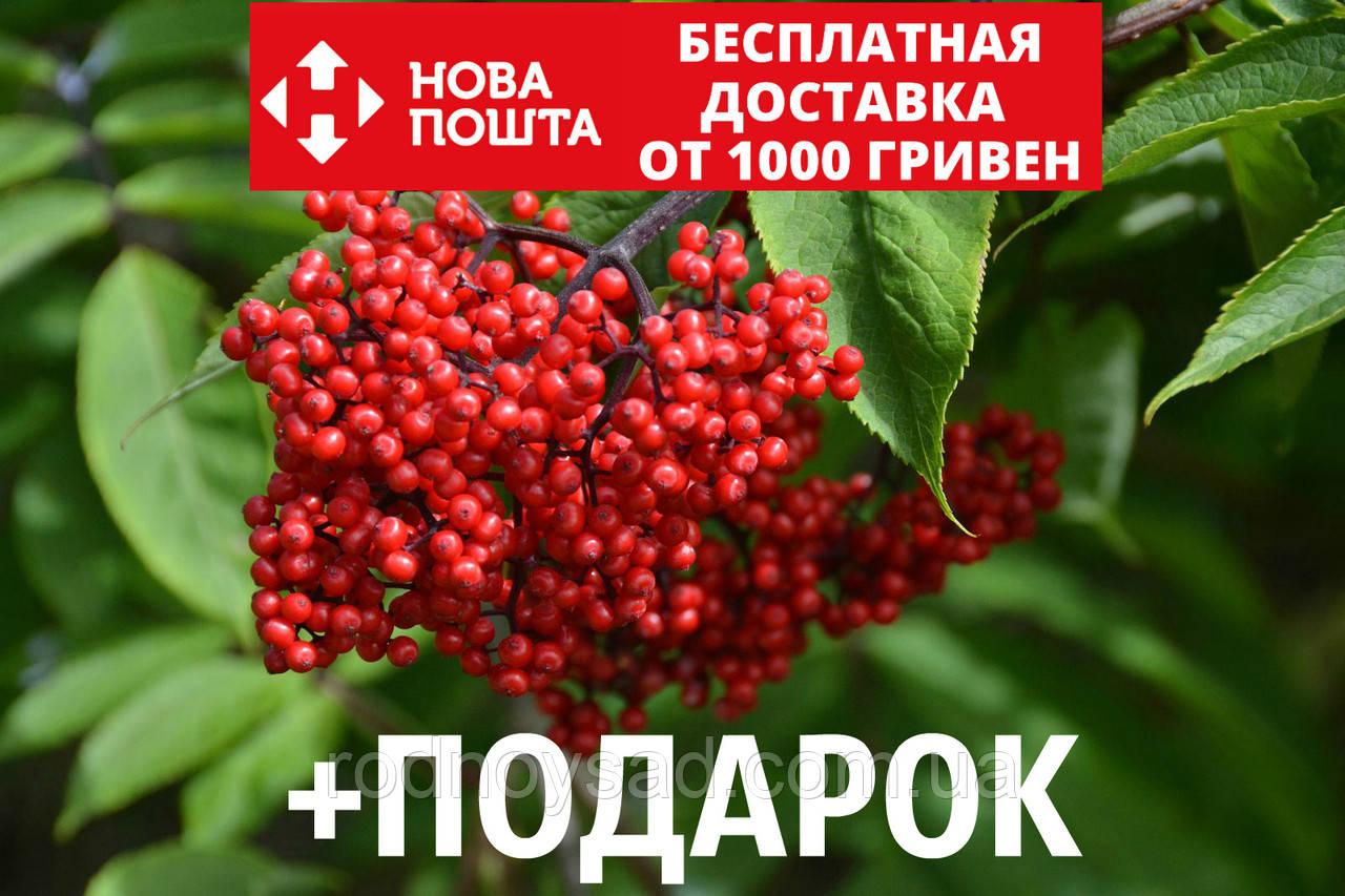 Бузина красная семена (20 шт)